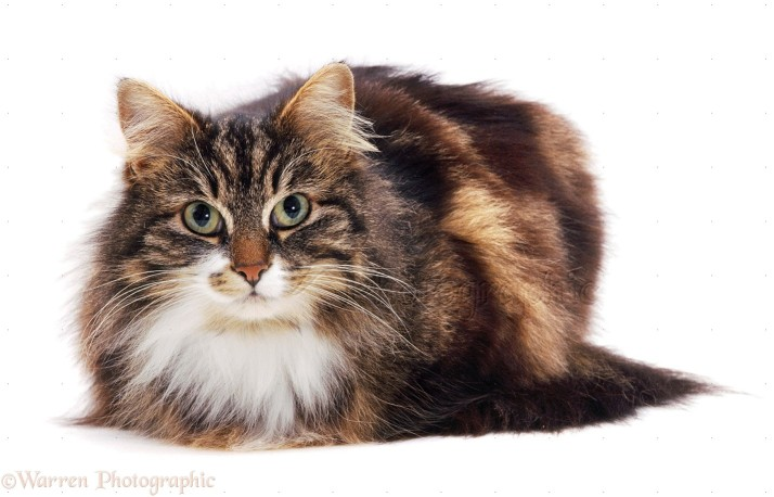 Longhaired Tabby-and-white cat, Molly